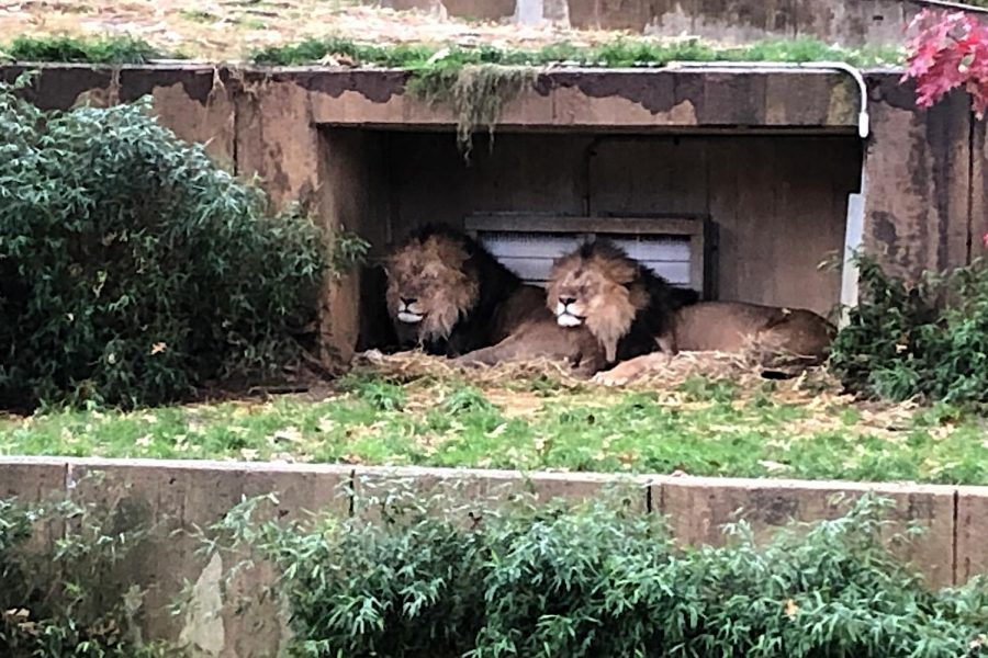 Two brother lions cuddle up under shelter from the rain in the