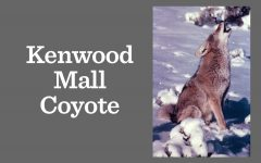 Coyote sighted on Kenwood Mall