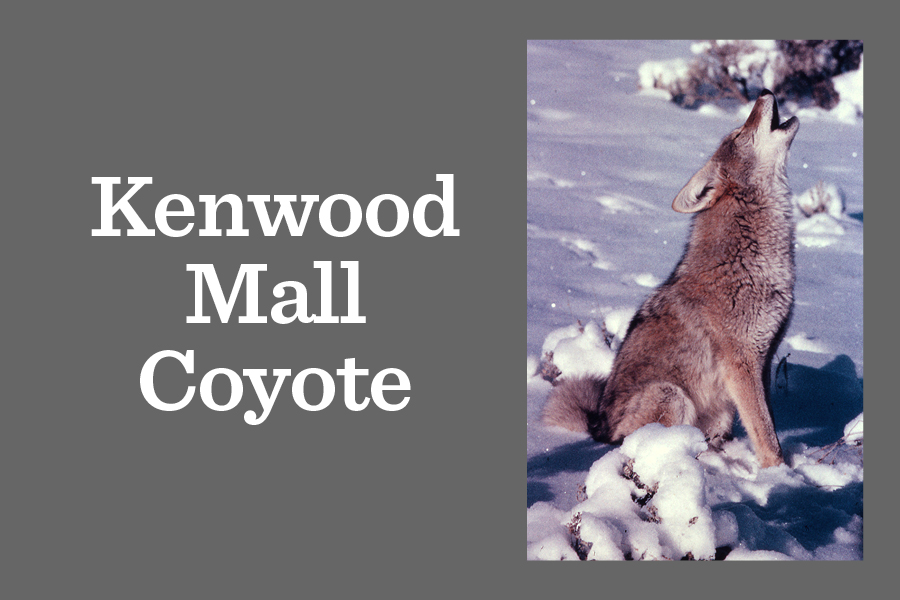 A coyote like the one pictured above was seen prowling Kenwood Mall and Midway Plaisance Jan. 13.