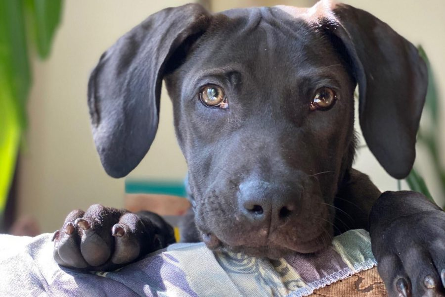 Remy, a 3 1/2-month-old Weimaraner mix peers over the couch in his new home, two weeks after being adopted. Senior Adria Wilson and her family adopted Remy from a rescue after deciding that now was the perfect time to make a new addition to the family.